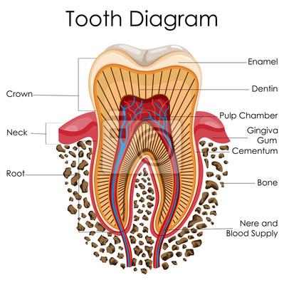 Medizinische ausbildung diagramm der biologie für zahn anatomie ...