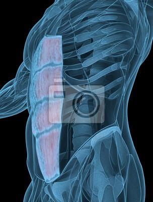 Medizinische muskel illustration der rectus abdominis. 3d ...