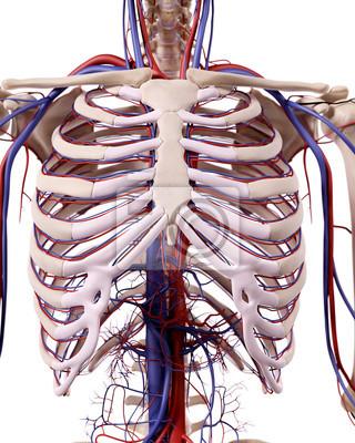 Medizinischen genaue darstellung der thorax blutgefäße fototapete ...