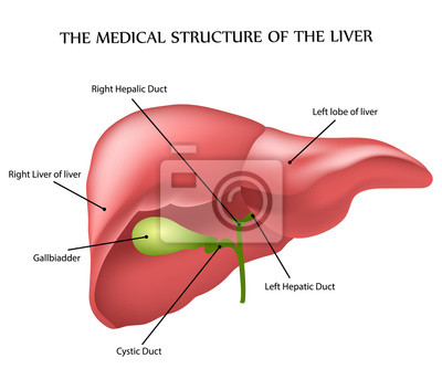 Medizinischen struktur der leber fototapete • fototapeten auch ...