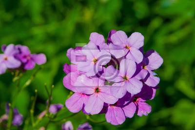 Retro Kühlschrank Violett : Mehrjährige garten blume lila nacht violett auf einem grünen