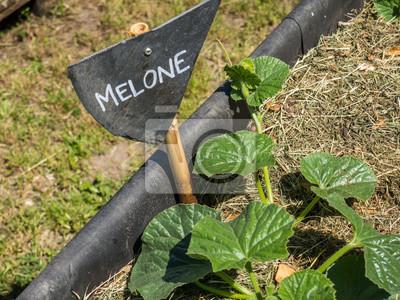 melone pflanze mit schild fototapete fototapeten melone wassermelone kreide. Black Bedroom Furniture Sets. Home Design Ideas