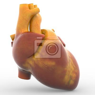 Menschenherz fototapete • fototapeten Aorta, medicals, pulmonalen ...