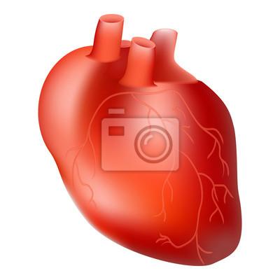 Menschenherz. inneres organ. anatomie-konzept isoliert auf einem ...