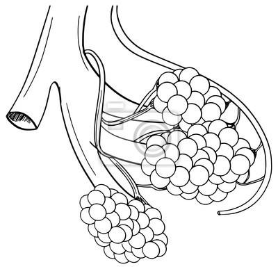 Menschliche Alveolen