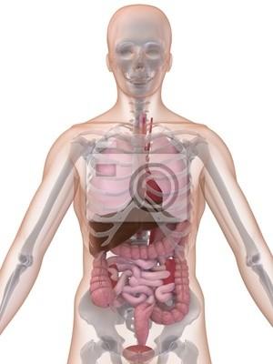 Menschliche anatomie fototapete • fototapeten Darm, anatomisch ...