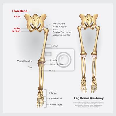 Fototapete: Menschliche anatomie-bein-knochen-vektor-illustration