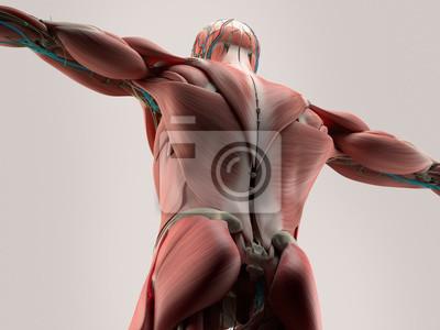 Menschliche anatomie detail der rückseite, wirbelsäule. muskel ...