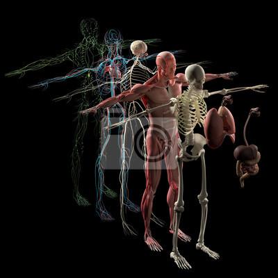 Menschliche anatomie explosionszeichnung, dekonstruiert. separate ...