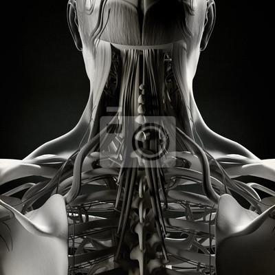 Menschliche anatomie, hals und wirbelsäule. abbildung. fototapete ...