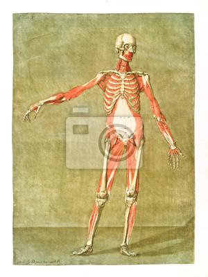 Menschliche anatomie. hauptmuskeln und knochen. männlicher körper ...