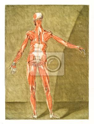 Menschliche anatomie. hauptmuskeln und sehnen. männlicher körper ...