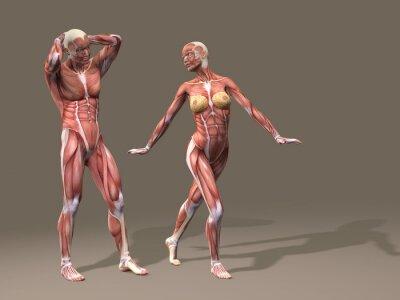 Menschliche anatomie mann und frau fototapete • fototapeten ...