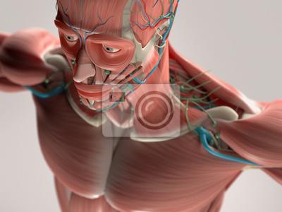 Menschliche anatomie mit gesicht, kopf, schultern und ...