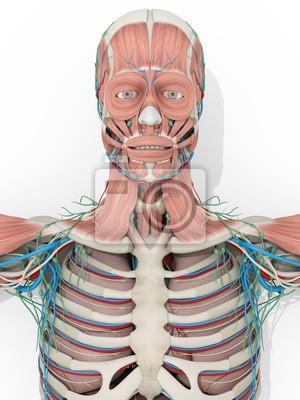 Menschliche anatomie muskel-system medizinische darstellung auf ...