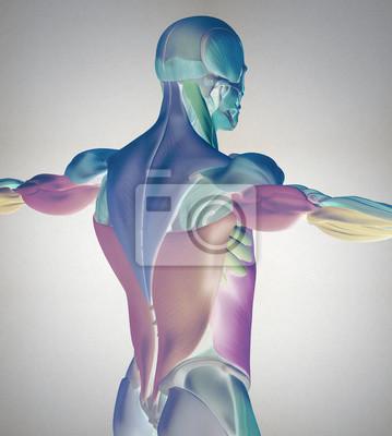 Menschliche anatomie muskelgruppen. muskelaufbau und lage in ...