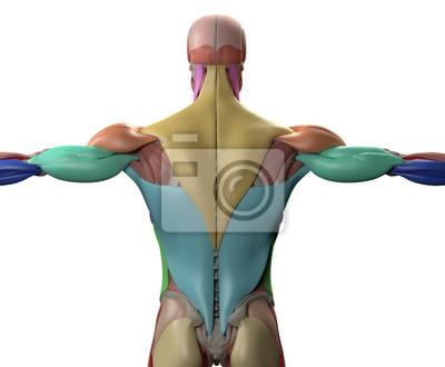 Menschliche anatomie, muskelgruppen. torso zurück .. 3d darstellung ...