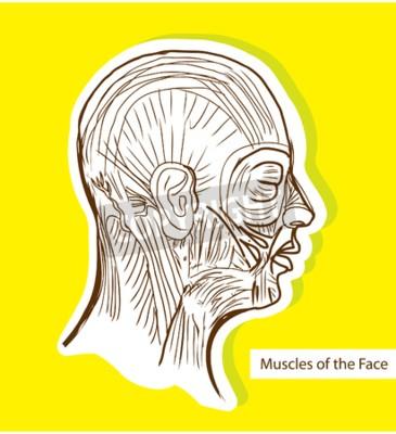 Menschliche anatomie muskeln des gesichts (gesichts-muskeln ...