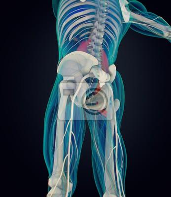 Menschliche anatomie, psoas muskel, seele muskel, kernstärke ...