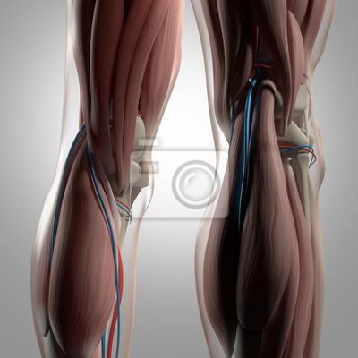 Menschliche anatomie. rücken von beinen, wadenmuskeln, knien ...