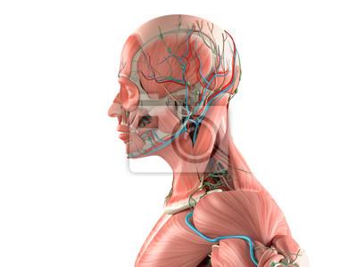 Menschliche anatomie seitenansicht der nahaufnahme des kopfes ...