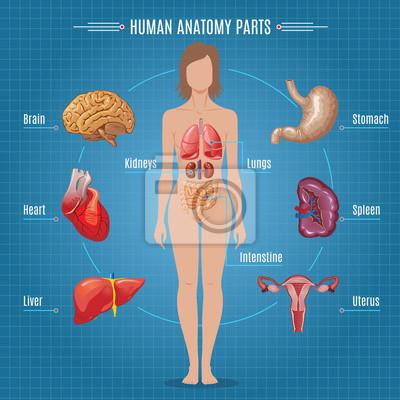 Charmant Menschlicher Fortpflanzungssystem Images Bilder - Anatomie ...