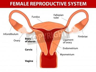 Menschliche anatomie weiblichen fortpflanzungsorgane uterus und ...