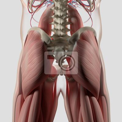 Menschliche anatomie, wirbelsäule, becken und gluteus maximus ...