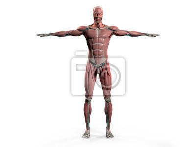 Menschliche anatomie zeigt vorder-ganzkörper, kopf, schultern ...