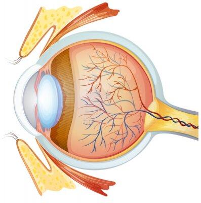 Menschliche Auge Querschnitt