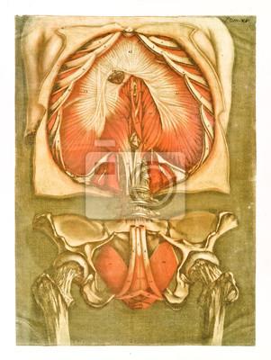 Menschliche brust- und hüftanatomie. muskeln und knochen ...