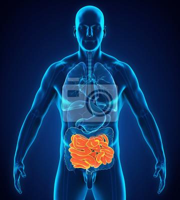 Menschliche dünndarm-anatomie fototapete • fototapeten Magen ...