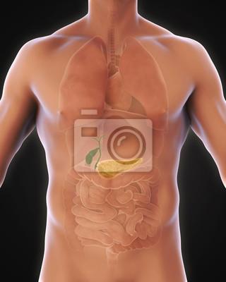 Menschliche gallenblase und pankreas anatomie fototapete ...
