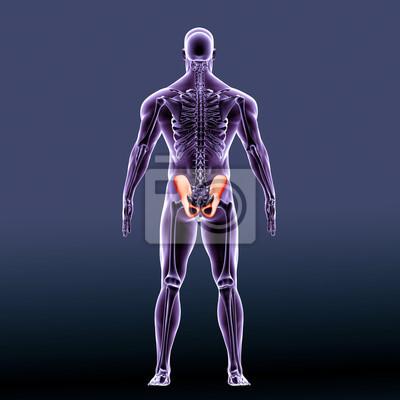 Menschliche hüftknochen anatomie illustration. 3d übertragen ...