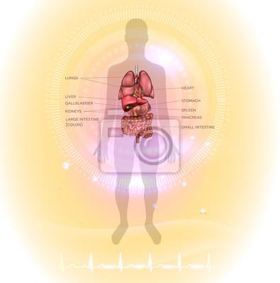 Menschliche innere organe anatomie bunte detaillierte illustration ...
