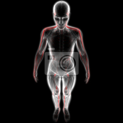 Menschliche körper-muskeln mit nervensystem-anatomie fototapete ...