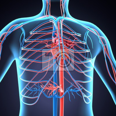 Menschliche körper nevers.human körperorgane des abbildung 3d ...