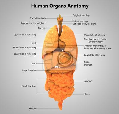 Menschliche körper organe label design anatomie fototapete ...
