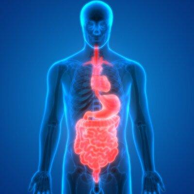 Menschliche körperorgane anatomie (herz mit verdauungssystem ...