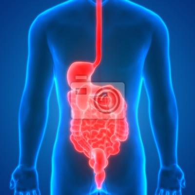 Menschliche körperorgane anatomie (magen, groß- und dünndarm ...