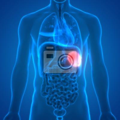 Menschliche körperorgane anatomie (milz) fototapete • fototapeten ...