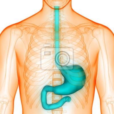 Menschliche körperorgane (magen-anatomie) fototapete • fototapeten ...