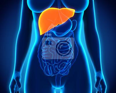 Menschliche leber anatomie fototapete • fototapeten auch, früher ...