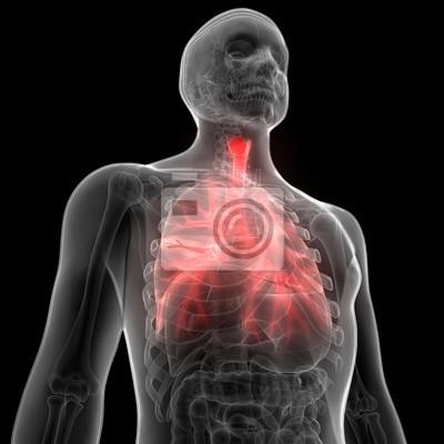 Menschliche lungen innerhalb der anatomie (larynx, trachea ...