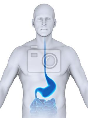 Menschliche magen anatomie fototapete • fototapeten Fundus, Magen ...