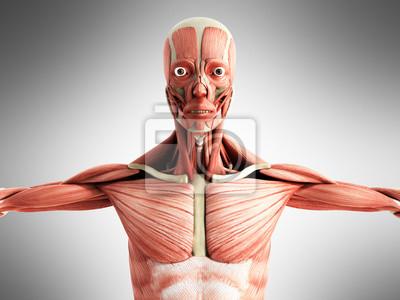 Menschliche muskel anatomie 3d render auf grau vorne fototapete ...