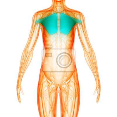 Menschliche muskel körper anatomie fototapete • fototapeten medicals ...