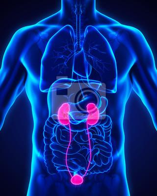 Menschliche nieren anatomie fototapete • fototapeten urogenital ...