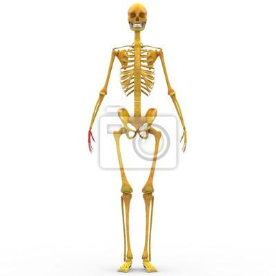 Menschliche skeleton finger gelenke fototapete • fototapeten ...