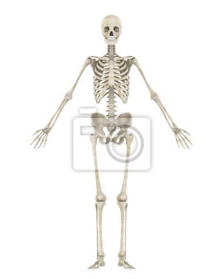 Menschliche skelett anatomie isoliert fototapete • fototapeten ...